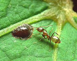 250px-Linepithema_Argentine_ant